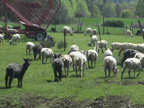 SheepField-Liz